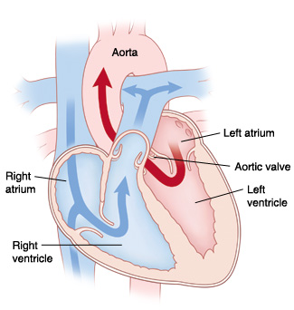 Front four-chamber cross section of the heart showing normal blood flow.