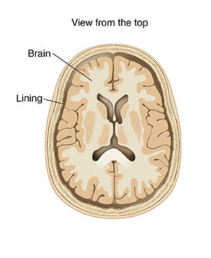 Top view cross section of brain showing lining.