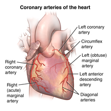 Arteries of the heart